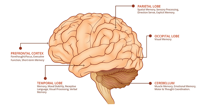 Outer view of brain to include prefrontal cortex, temporal lobes, parietal lobes, occipital lobes, and cerebellum.